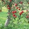 Плодовые и косточковые деревья