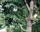 Ясень маньчжурский
